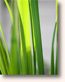 Citral from Lemon Grass may be one of the the Greatest Discoveries in the Battle Against Cancer in the past 20 Years!